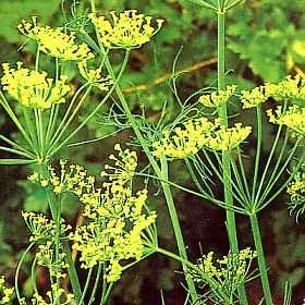 aneth.clairemedium