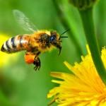 Rêves : rêver d'abeilles