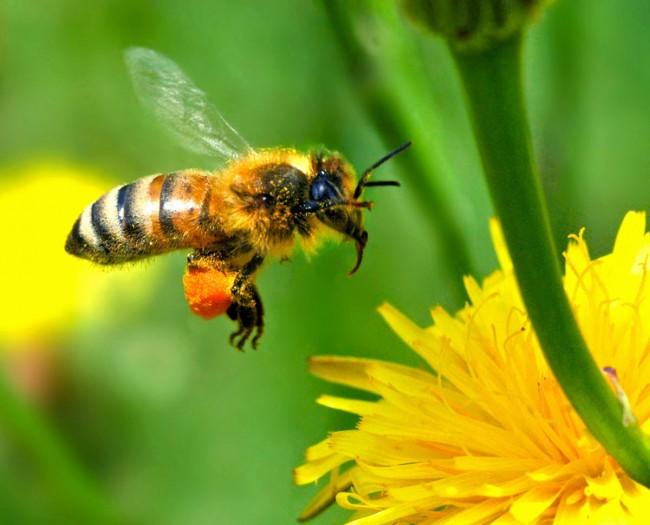 abeille-clairemedium
