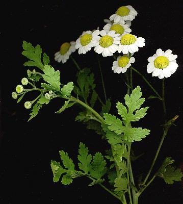 camomille-clairemedium