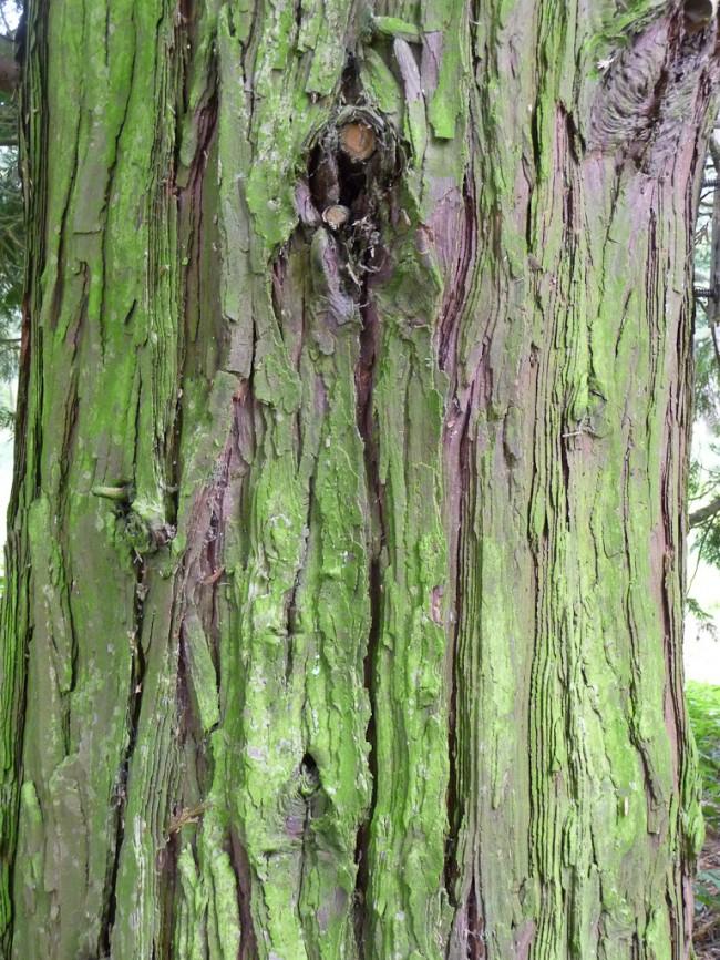 cedre-clairemedium