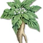 Les plantes : la mandragore