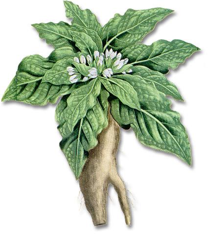 mandragore-clairemedium