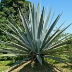 Encens : l'agave
