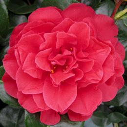 camellia-clairemedium