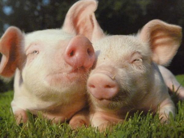 notre planete cochon claire thomas medium