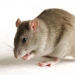 Rêves : rêver de rat