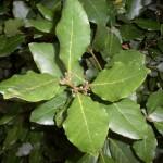 Les plantes : le laurier