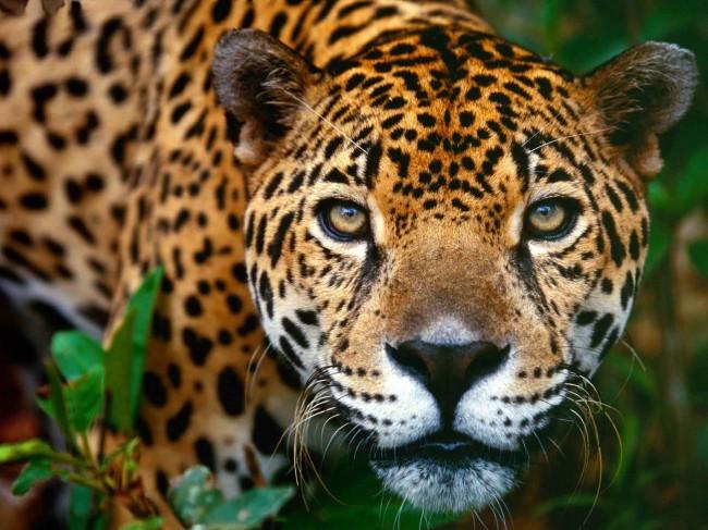 jaguar-clairemedium