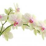Les plantes : l'orchidée