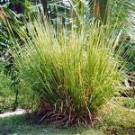 Les plantes : le vétiver