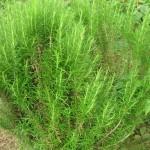 Les plantes : le romarin