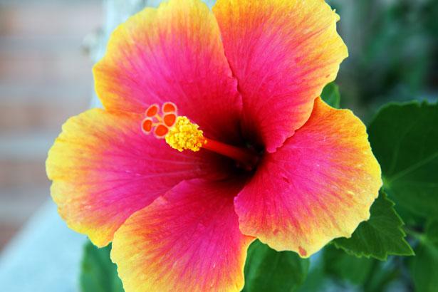 hibiscus-clairemediu