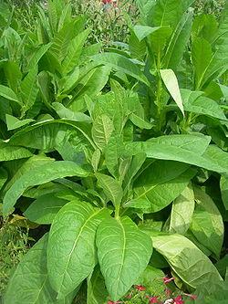 tabac-clairemedium
