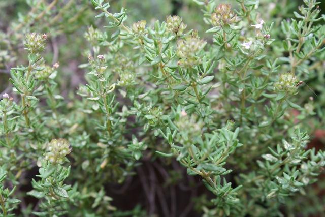 thym-clairemedium