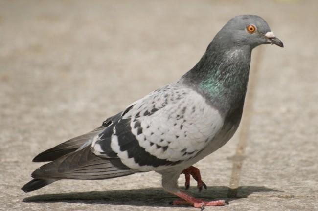 pigeon-clairemedium