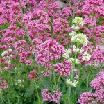 Les plantes : la valériane