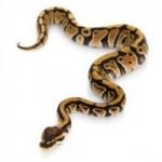 Conseils : Vaincre sa phobie des serpents