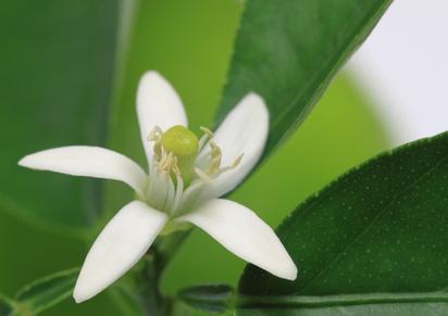 ライムの花と葉  Lime