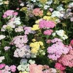 Les plantes : l'achillée millefeuille