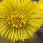 Plantes : le tussilage