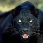 Interprétation des rêves de Sandrine sur les tigres et les panthères