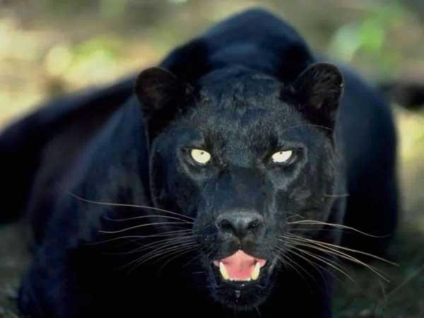 panthere noire reves claire medium