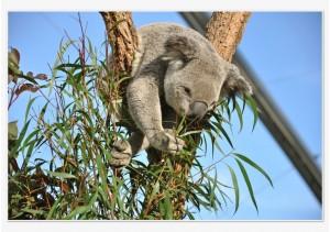 koala-australie-sydney