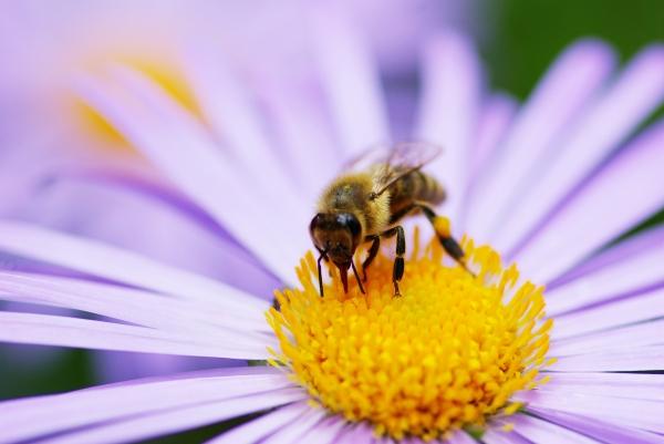 abeille une