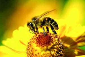 abeilles 1