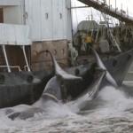 Islande : la chasse à la baleine est lancée
