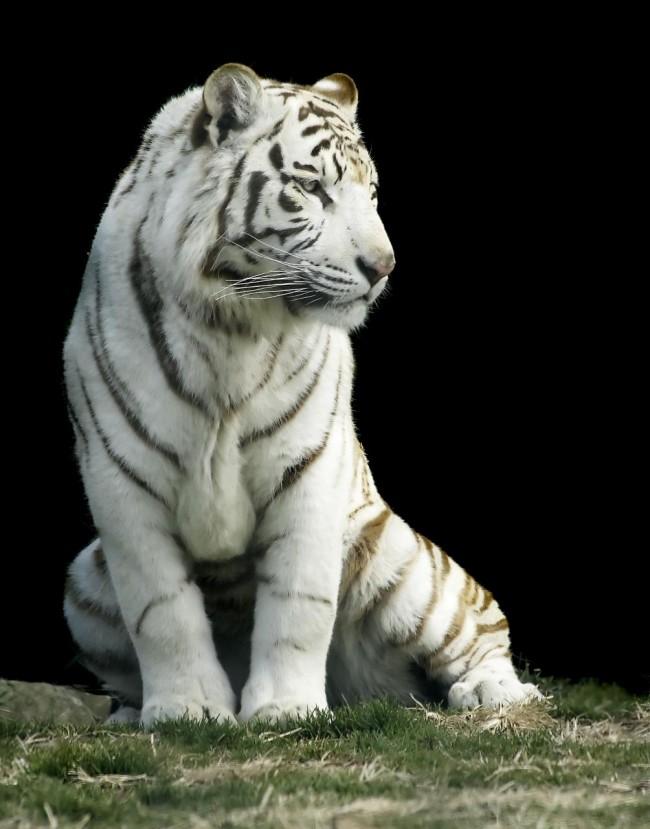tigre blanc reve claire thomas