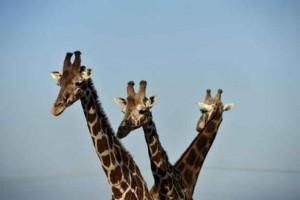 girafe 1