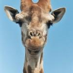 Mais oui, la girafe fait du bruit !