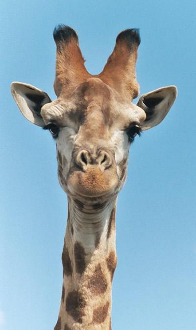 girafe une