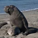 Interprétation du rêve de Brigitte : Les éléphants de mer