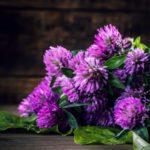 Plantes : le trèfle rouge