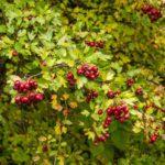 Les plantes : l'aubépine