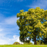 Plantes : le frêne