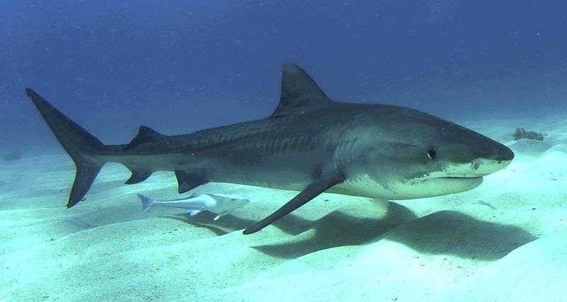 Le saviez-vous ? Le requin un animal pas si dangereux…
