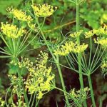 Les plantes : l'aneth