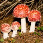 Rêves : rêver de champignon