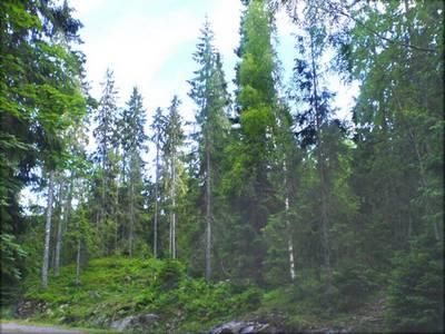 Notre planète : Les arbres les plus vieux du monde