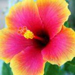 Les plantes : l'hibiscus