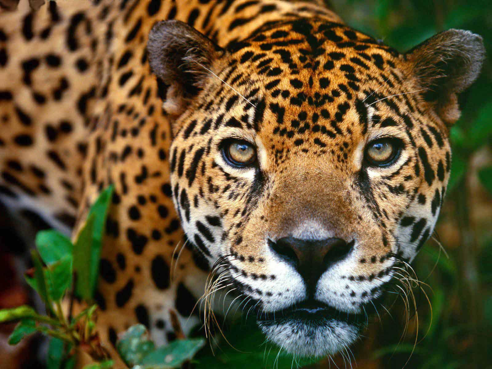 Rêves : rêver de jaguar