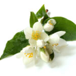 Les plantes : le jasmin
