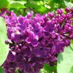 Rêves : rêver de lilas