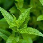 Les plantes : la menthe