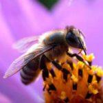 Planète : La disparition des abeilles