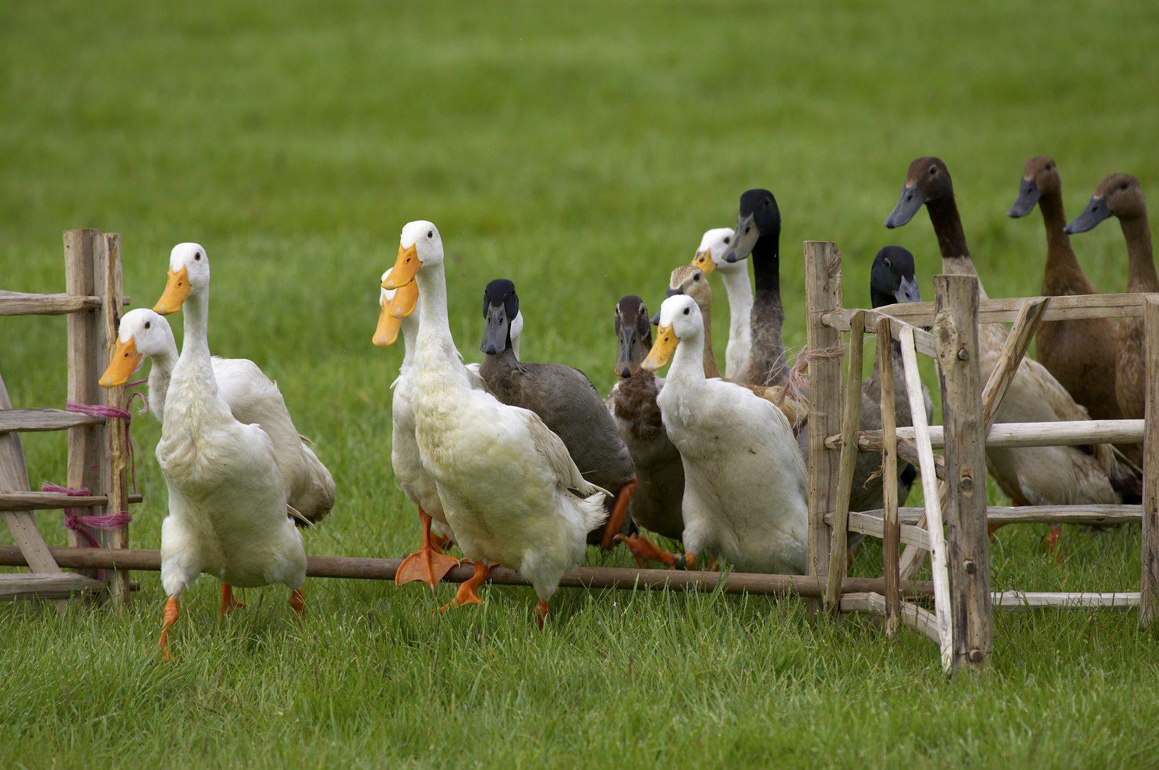 Notre planète : 1ère journée mondiale contre le foie gras